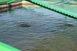 Holingsberg trout growing ponds